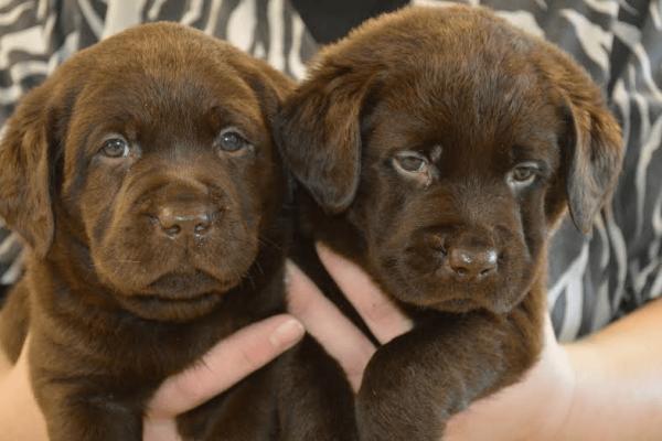 MarshyHope chocolate pups